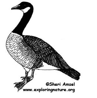 Goose (Canada)