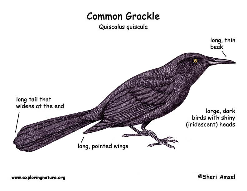 Raven vs crow vs grackle - photo#27