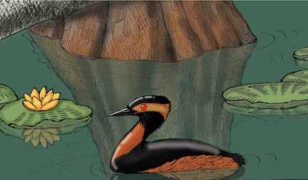 Grebe (Eared) or Black-necked Grebe