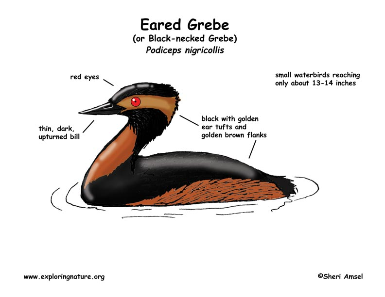 Grebe (Eared) or Black-necked Grebe
