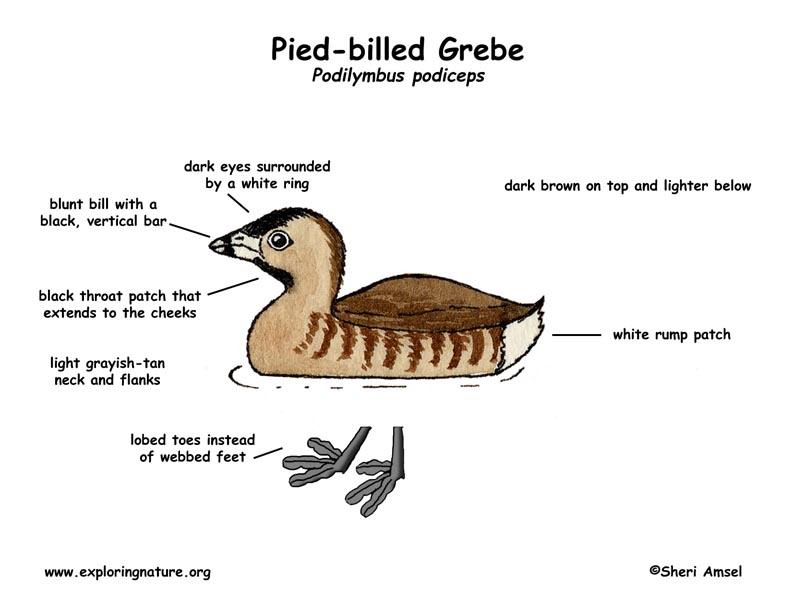 Grebe (Pied-billed)