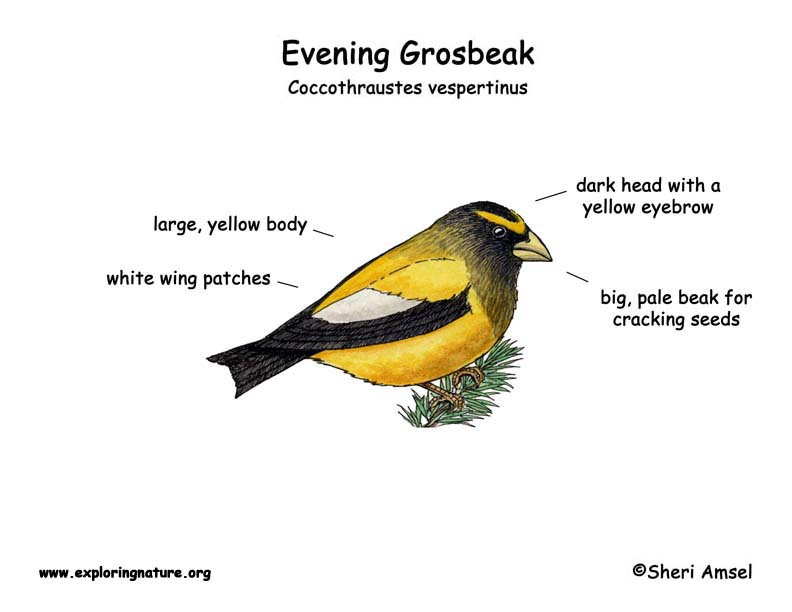 Grosbeak (Evening)