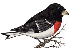 Grosbeak (Rose-breasted)