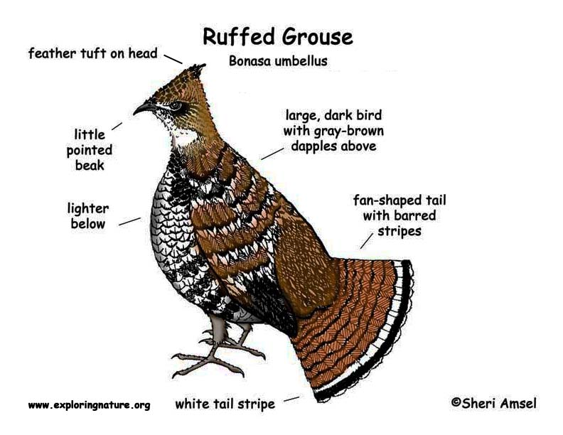 Grouse (Ruffed)