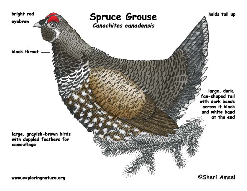 Grouse (Spruce)