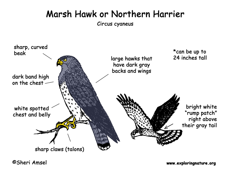 Hawk (Marsh) - Northern Harrier