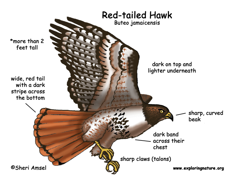 Hawk (Red-tailed)