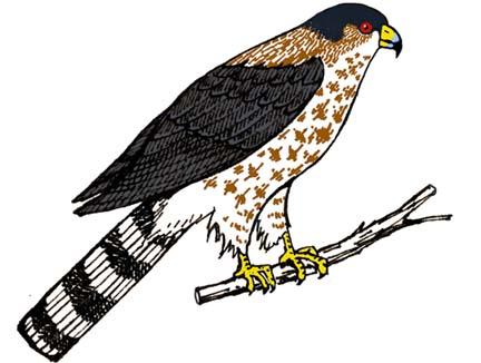 Hawk (Sharp-shinned)