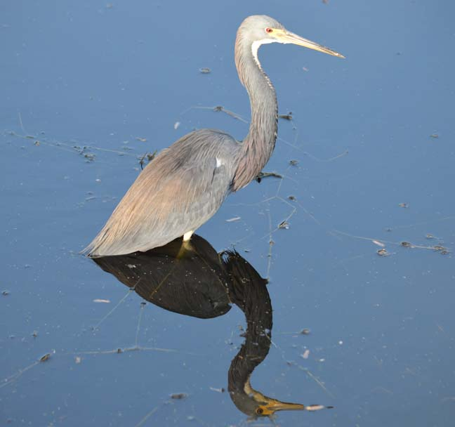 Heron (Great Blue)