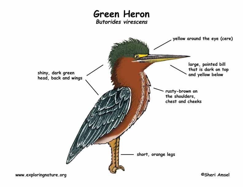 Heron (Green)