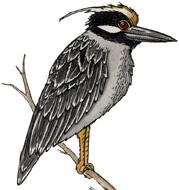 Heron (Yellow-Crowned Night)