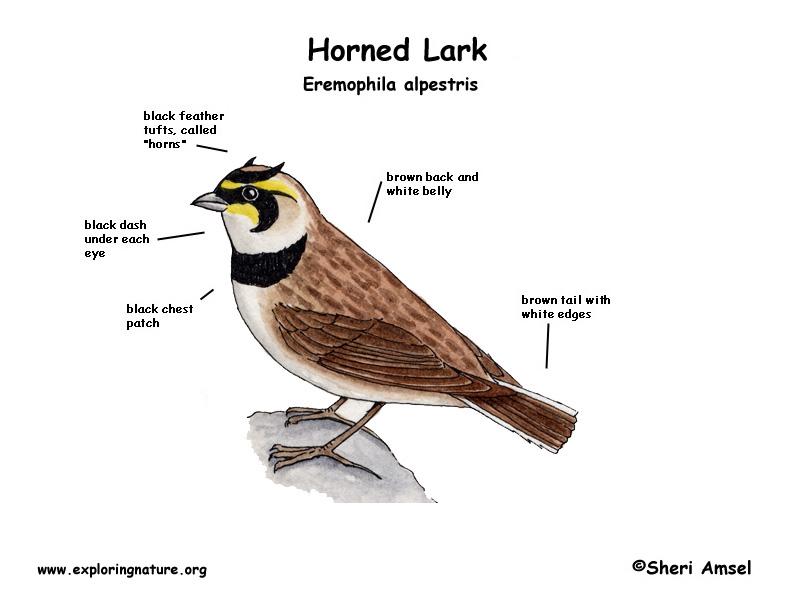 Lark (Horned)