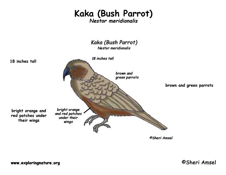 Kaka Bush Parrot