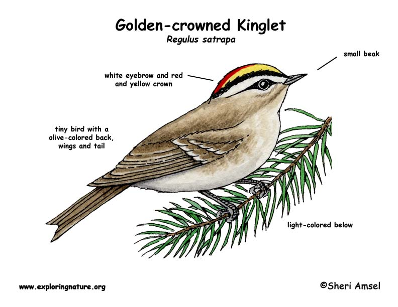 Kinglet  Golden