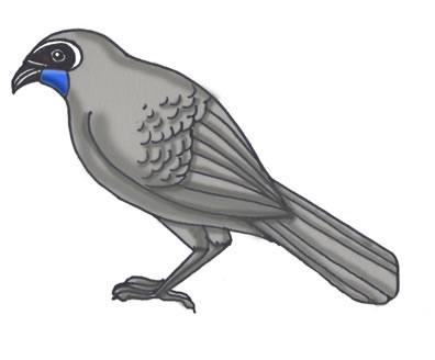 Kokako (New Zealand Wattlebirds)
