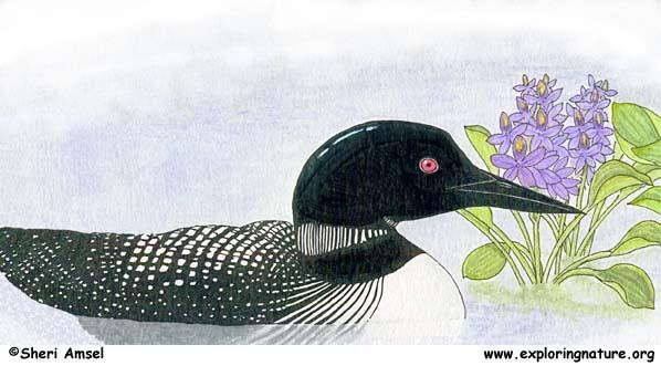 Loon (Common)