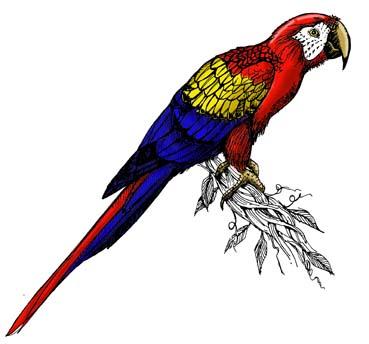 Macaw (Scarlet)