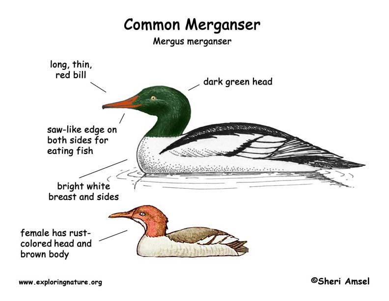 Merganser (Common)