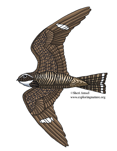 Nighthawk (Common)