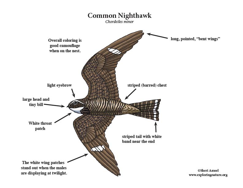 Common nighthawk color diagram