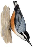 Nuthatch (Red-breasted)