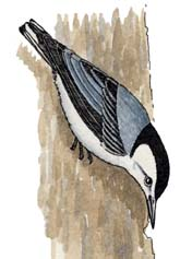 Nuthatch (White-breasted)