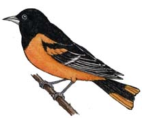 Oriole (Baltimore)
