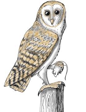 Owl (Barn)