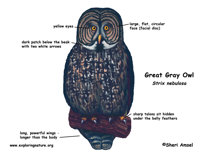 Owl (Great Gray)