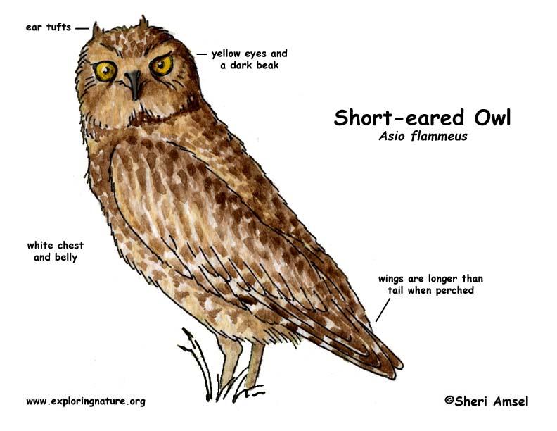 Owl (Short-eared)