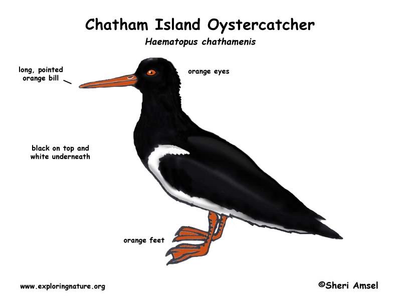 Oystercatcher (Chatham Island)