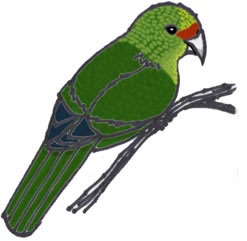 Parakeet (Yellow-crowned) or Kakariki