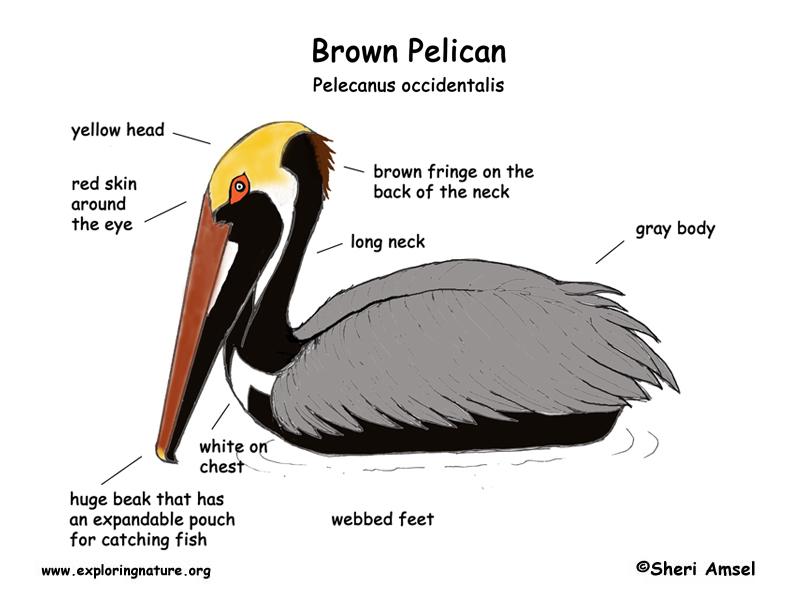 Pelican (Brown)