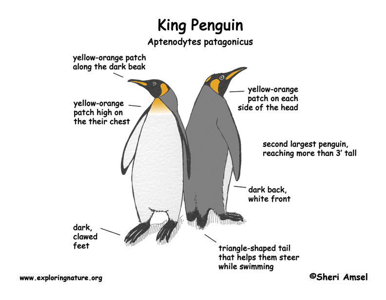 king penguin diagram little penguin diagram