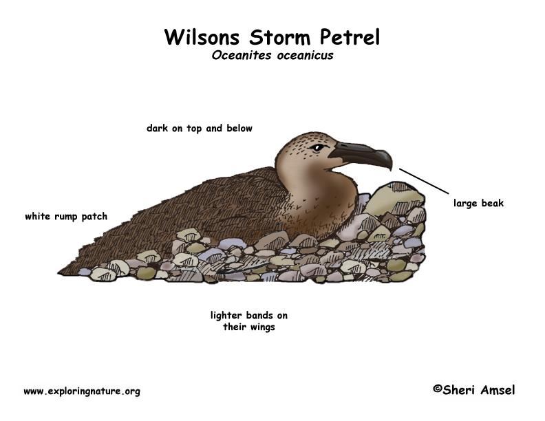 Petrel (Wilsons Storm)