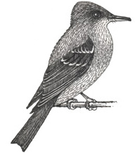 Pewee (Eastern Wood)