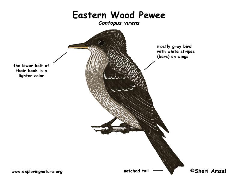 Pewee (Eastern Wood)