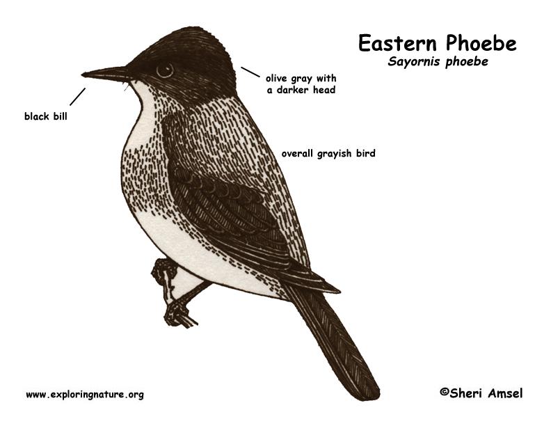 Phoebe (Eastern)