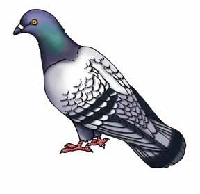 Pigeon (Common) or Rock Dove