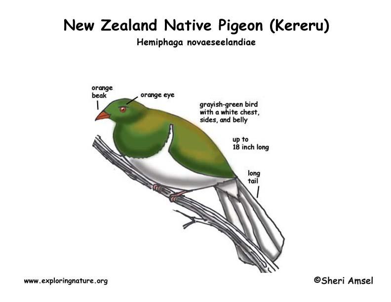Kereru (New Zealand Native Pigeon)
