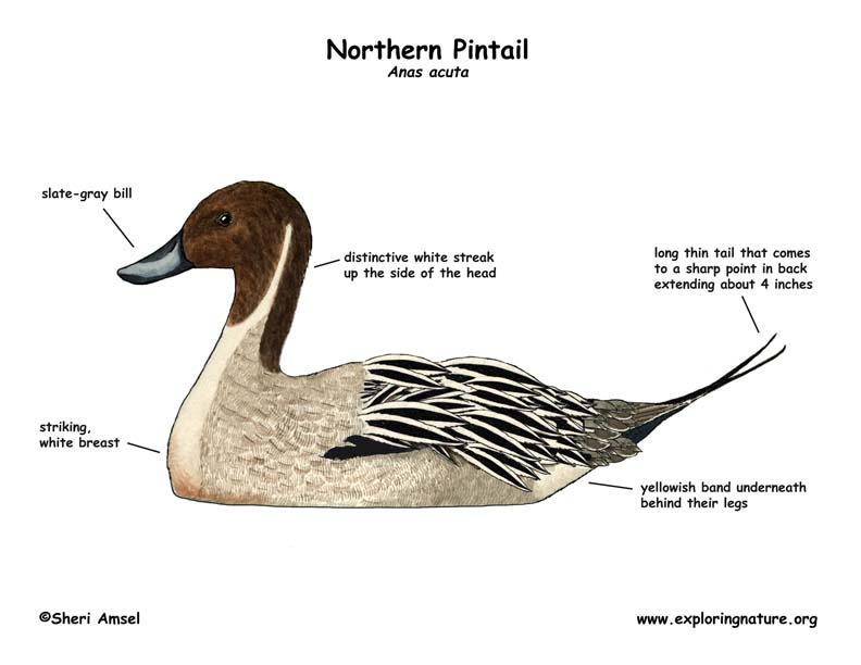 Duck (Northern Pintail)