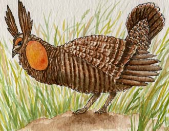 Prairie Chicken (Greater)