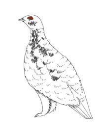 Ptarmigan (Willow)