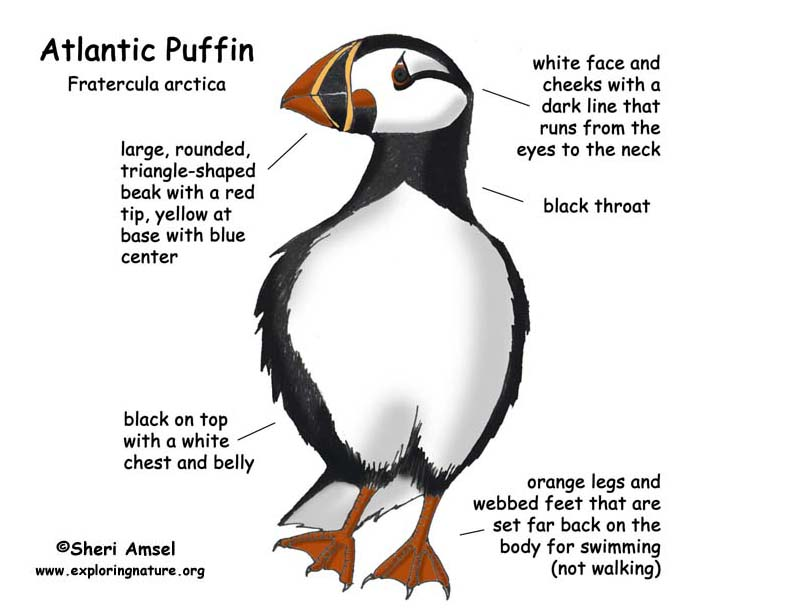 Puffin (Atlantic)