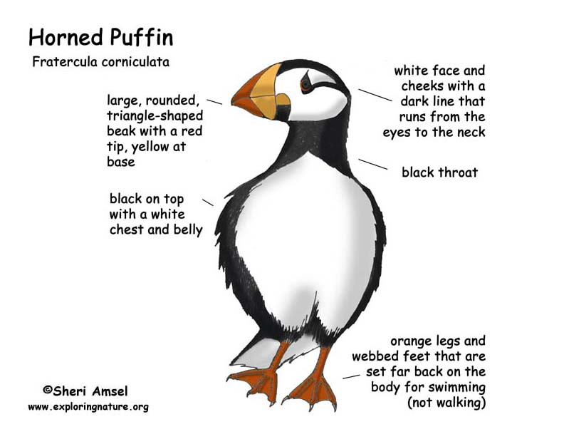 Puffin (Horned)