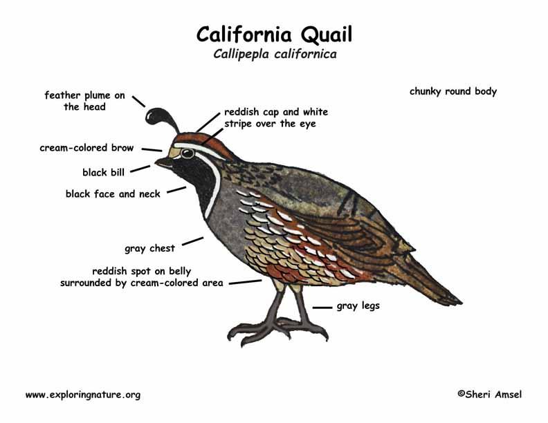 quail (california) snow quail diagram #13