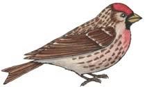Redpoll (Common)