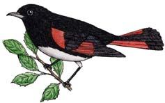 Redstart (American)