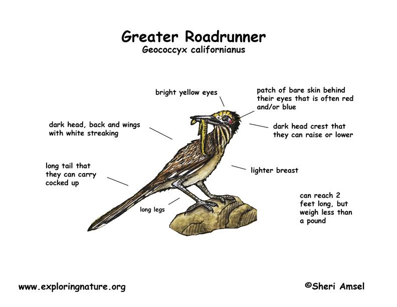 Roadrunner  Greater