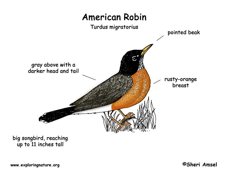 Robin American